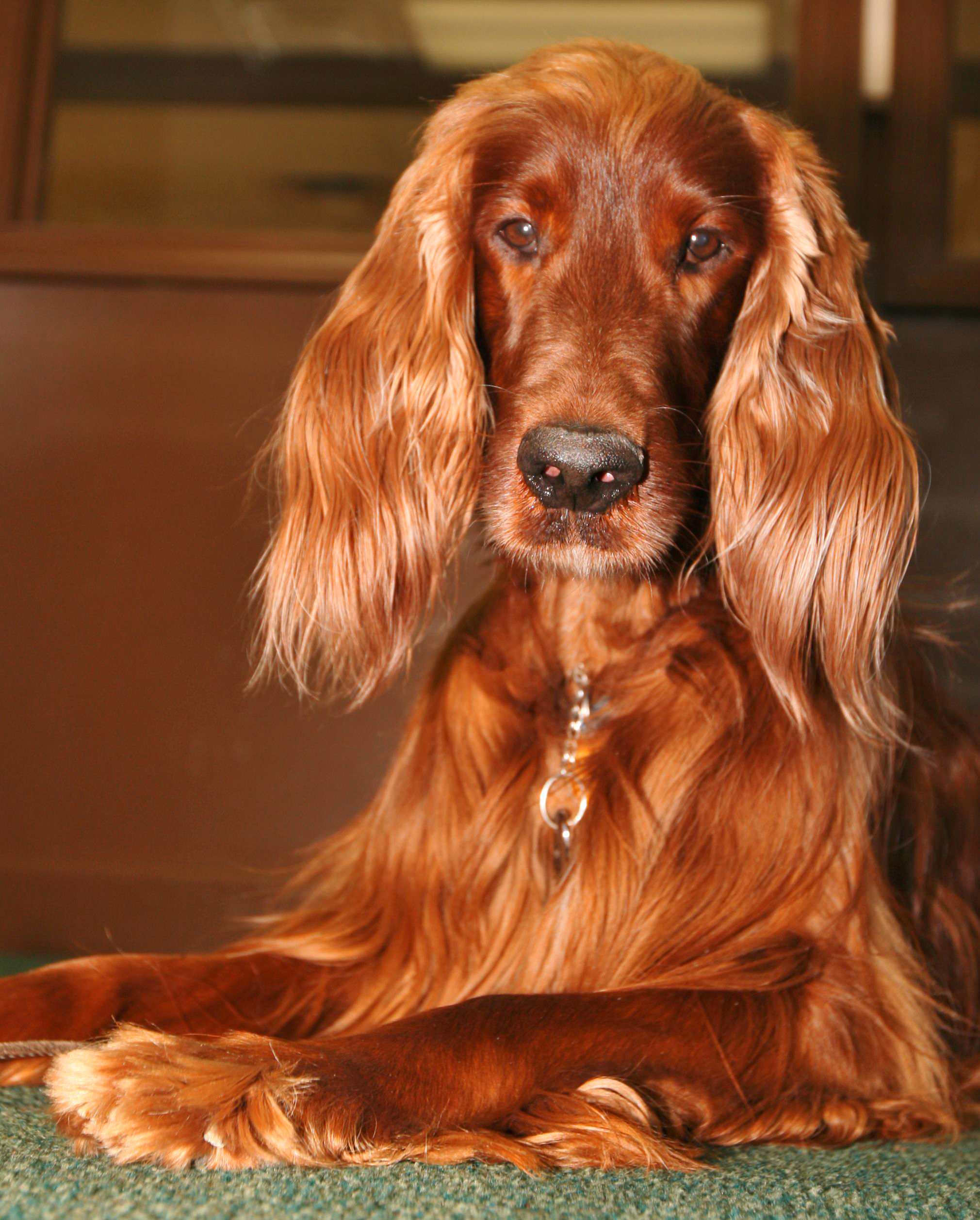 Irish Setter Backgrounds on Wallpapers Vista