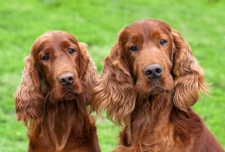 HD Quality Wallpaper | Collection: Animal, 750x509 Irish Setter