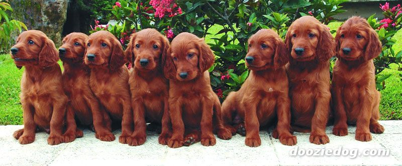 Irish Setter Pics, Animal Collection