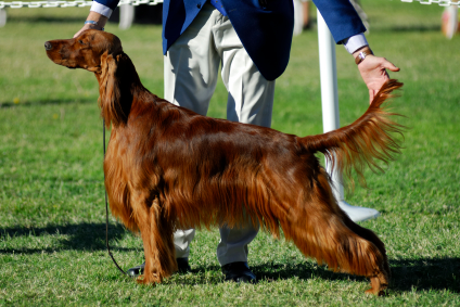 High Resolution Wallpaper | Irish Setter 424x283 px