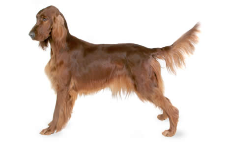 Nice wallpapers Irish Setter 460x290px