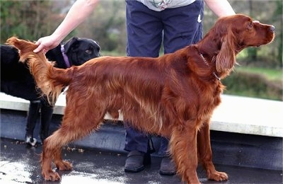 Irish Setter Backgrounds, Compatible - PC, Mobile, Gadgets| 400x260 px