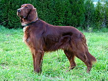 Nice Images Collection: Irish Setter Desktop Wallpapers