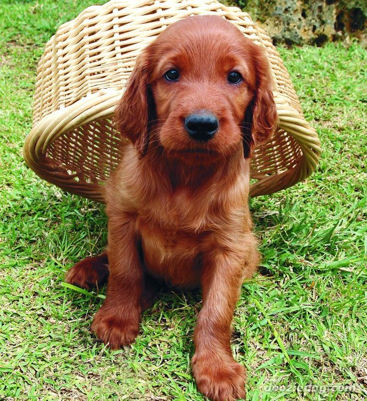 Irish Setter High Quality Background on Wallpapers Vista