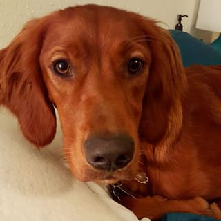 Images of Irish Setter | 320x320