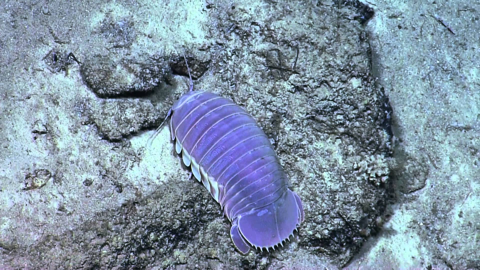 Images of Isopod | 1920x1080