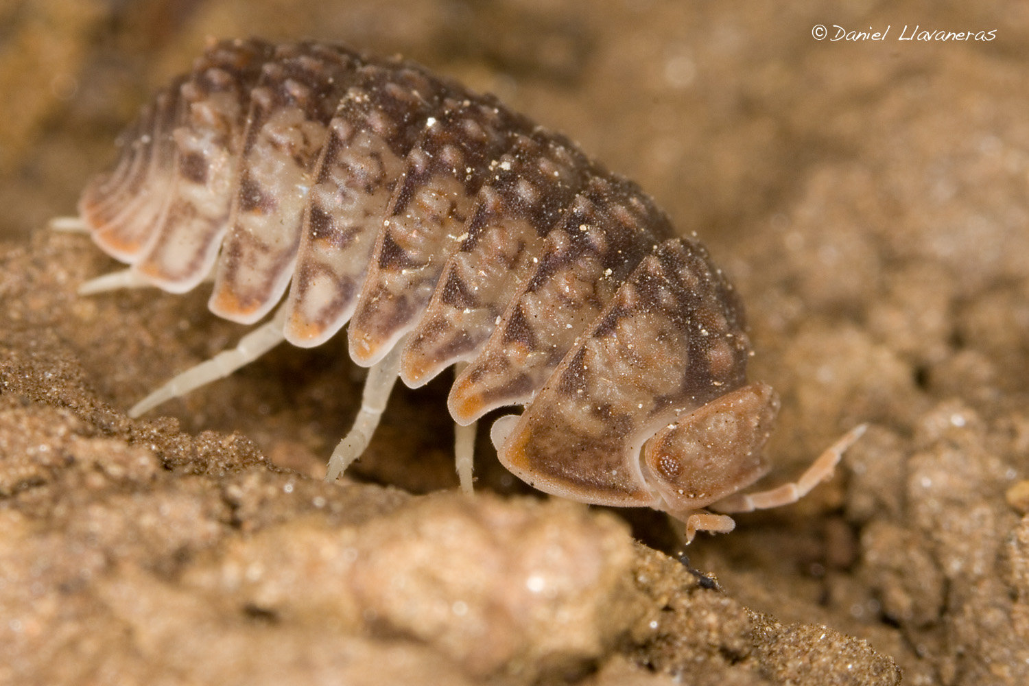 Isopod Backgrounds on Wallpapers Vista