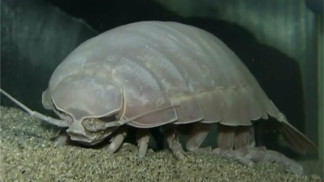 Isopod High Quality Background on Wallpapers Vista