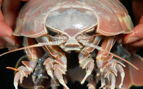 Nice Images Collection: Isopod Desktop Wallpapers