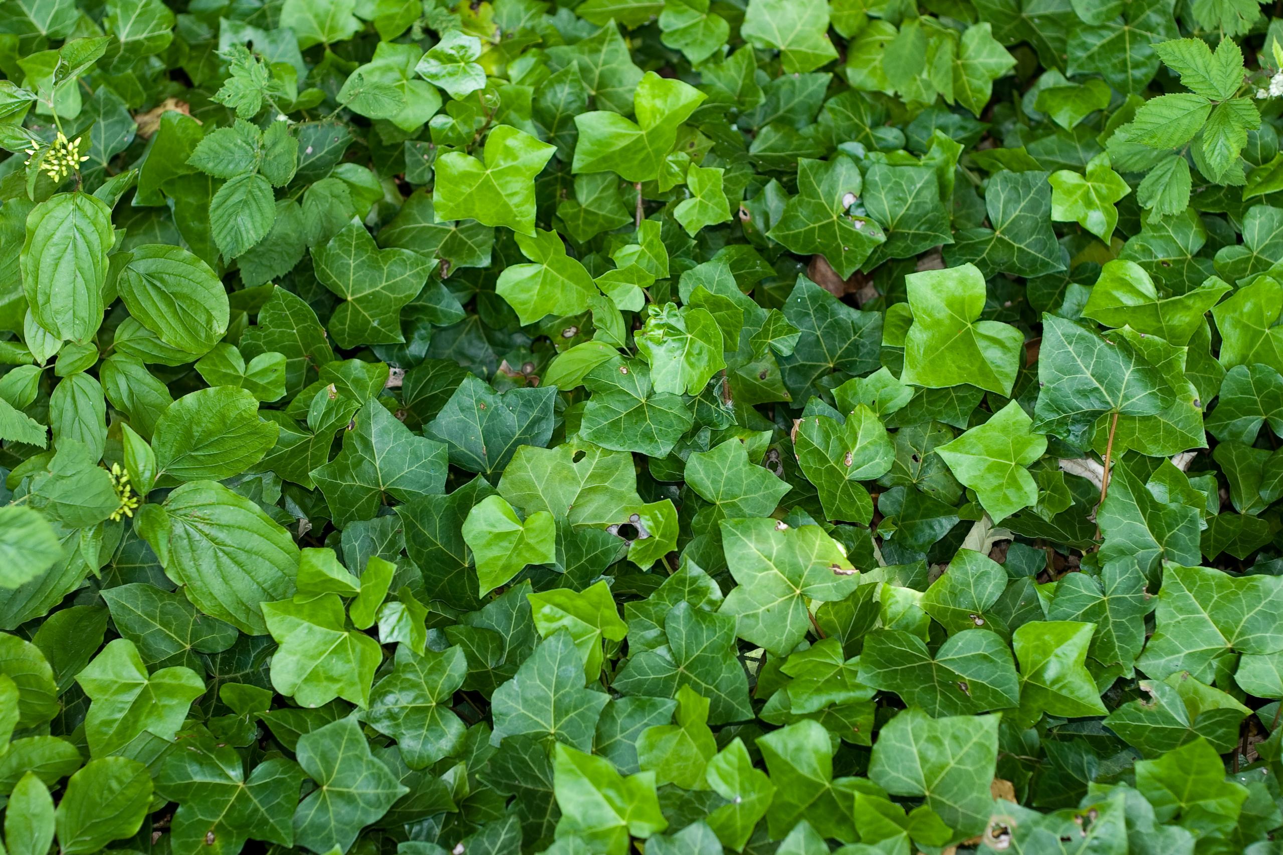 Ivy #2