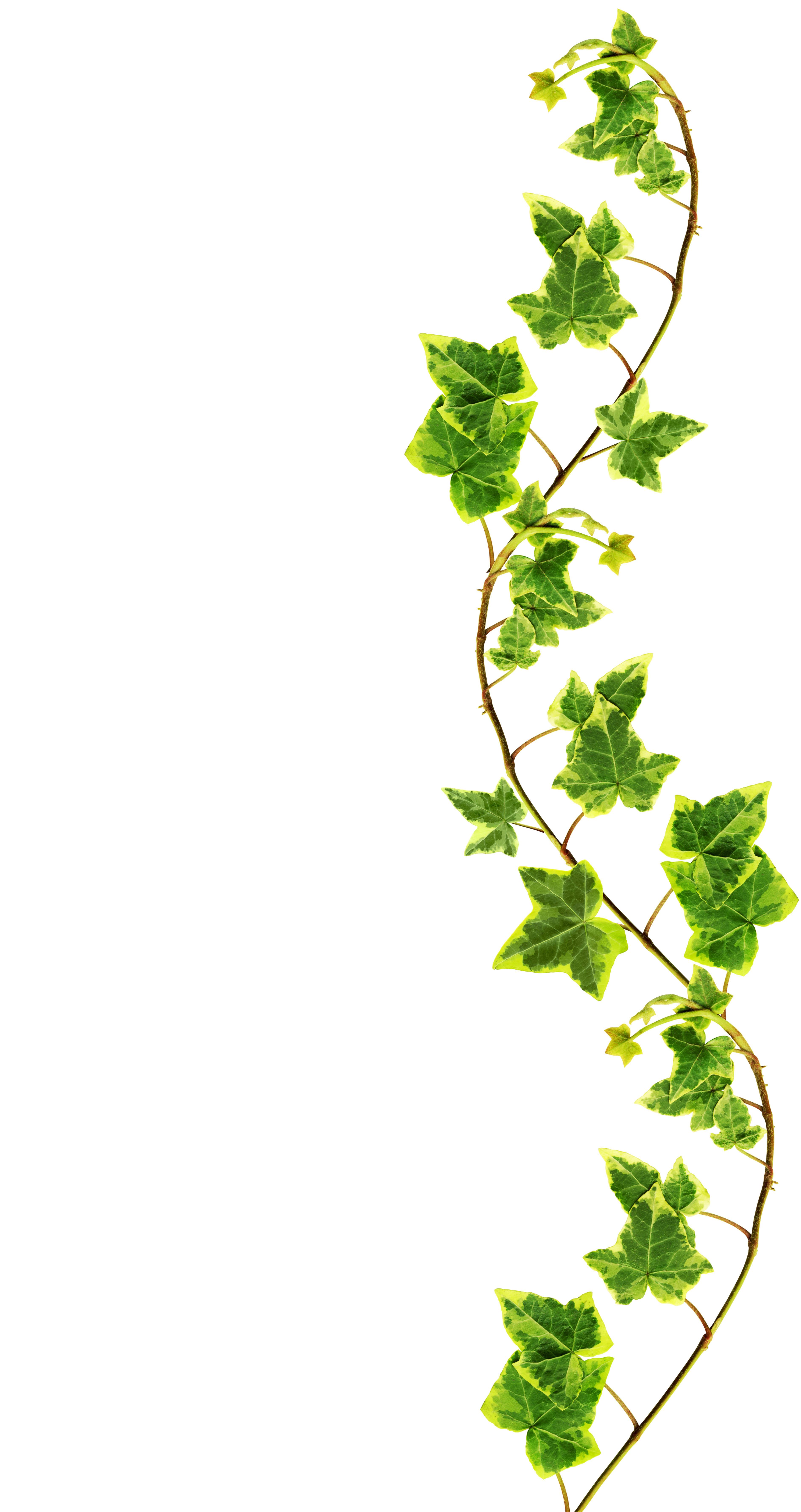 Ivy High Quality Background on Wallpapers Vista