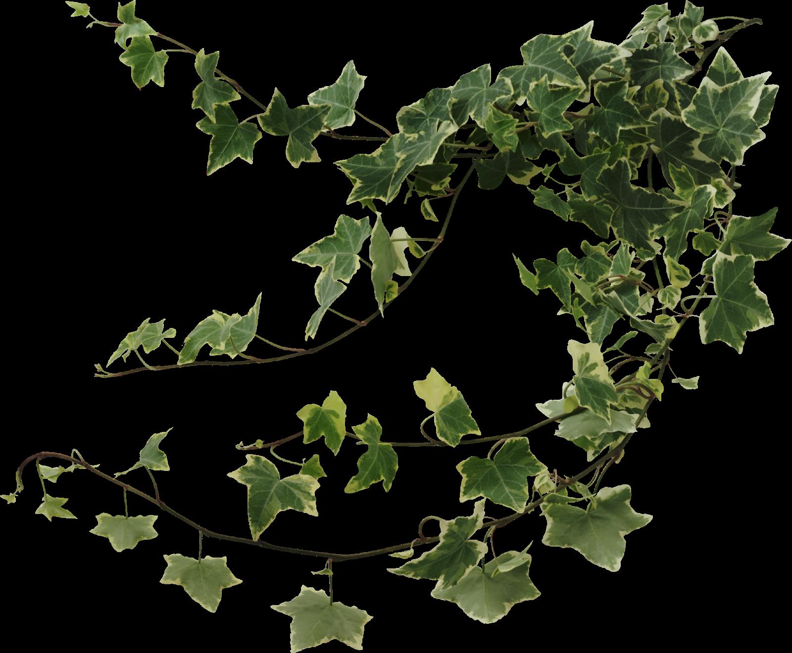 Ivy #6