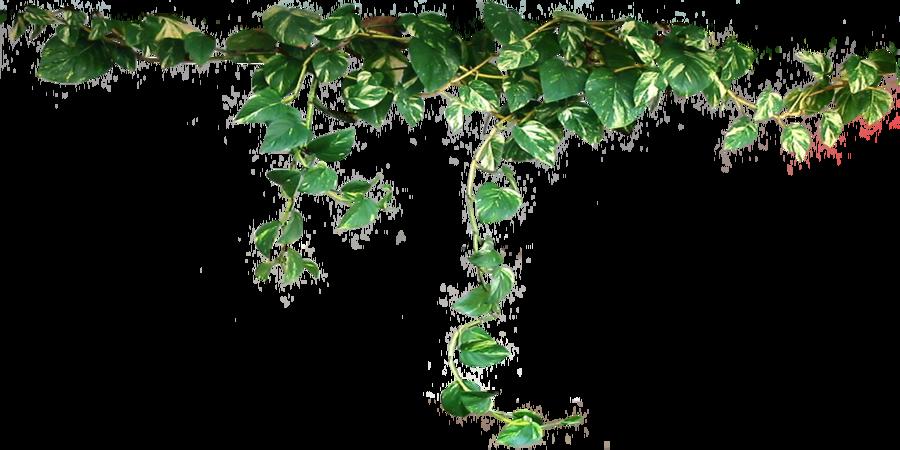 Ivy #21