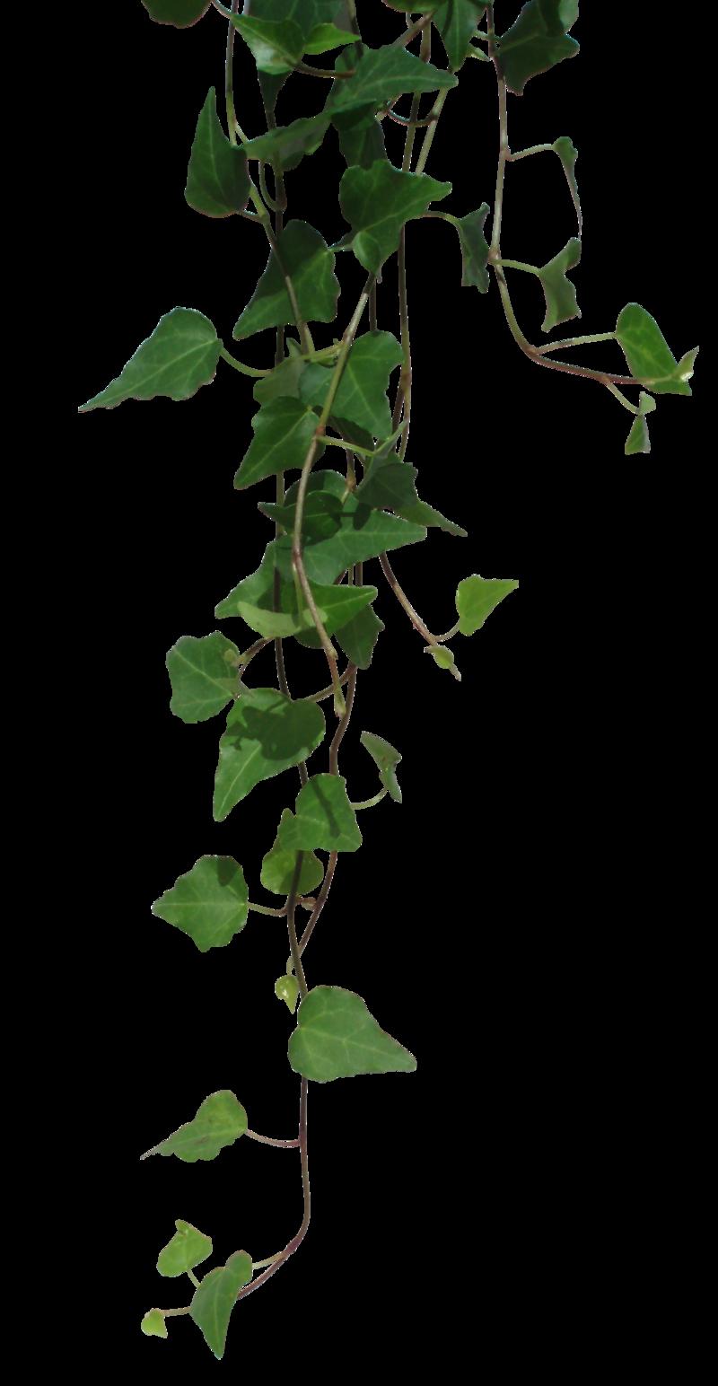 Ivy #19