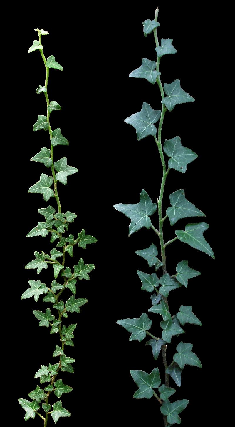 Ivy #16