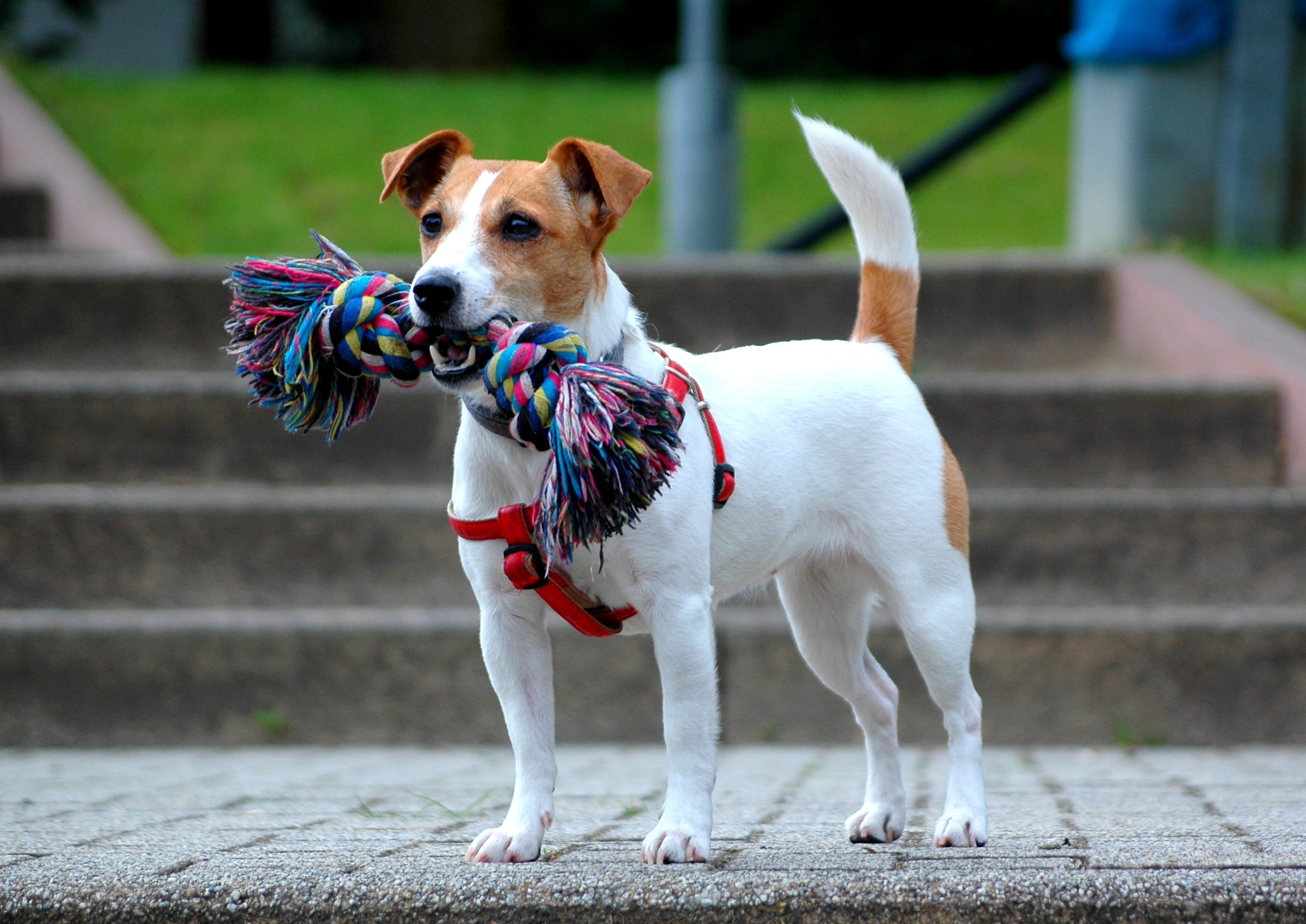 Jack Russell Terrier Backgrounds, Compatible - PC, Mobile, Gadgets| 2449x1733 px