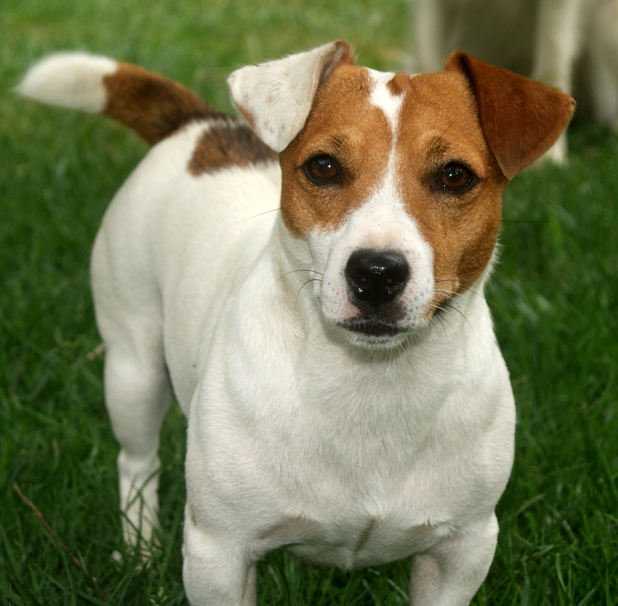 Jack Russell Terrier Backgrounds, Compatible - PC, Mobile, Gadgets| 2096x2056 px