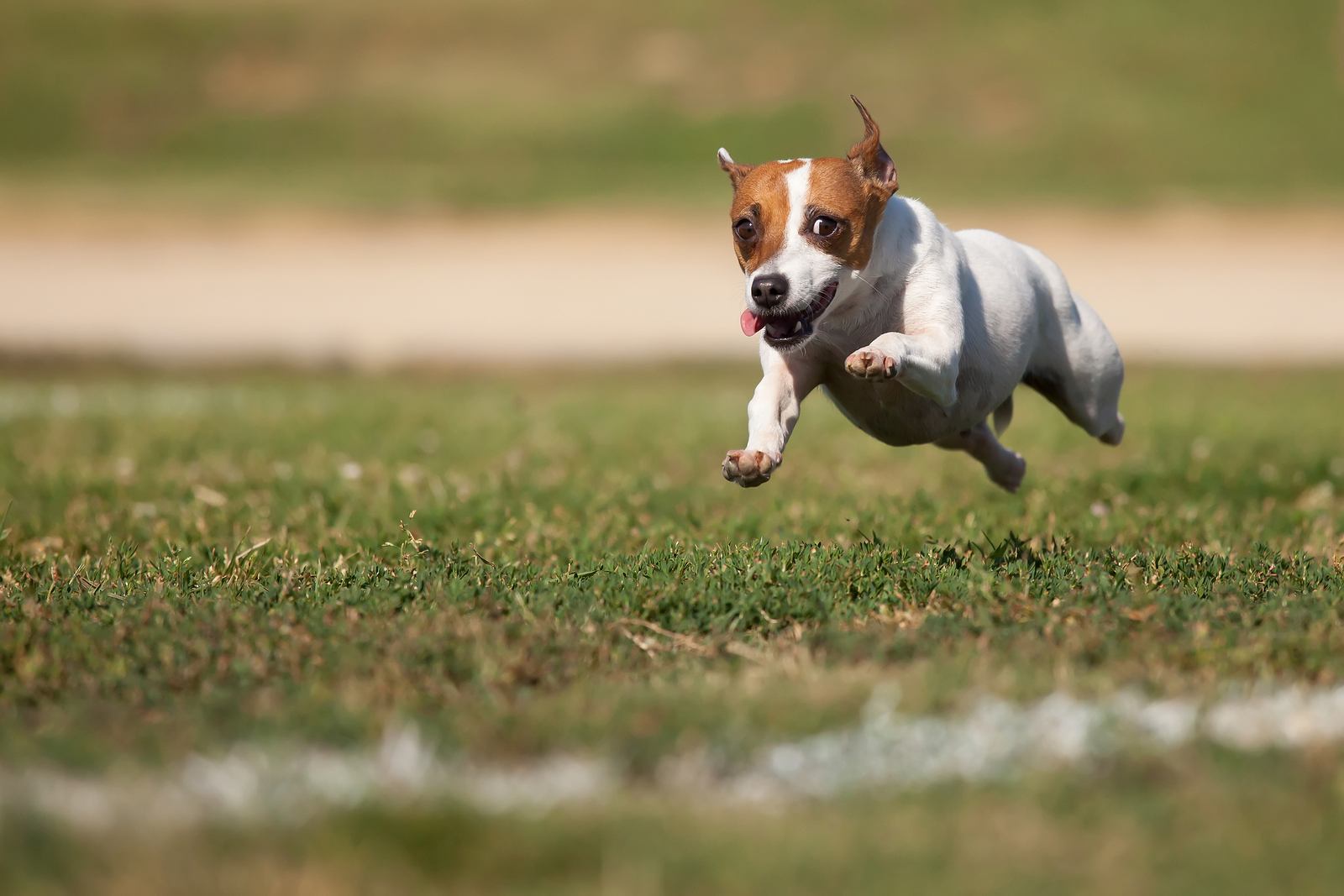 HD Quality Wallpaper | Collection: Animal, 1600x1067 Jack Russell Terrier