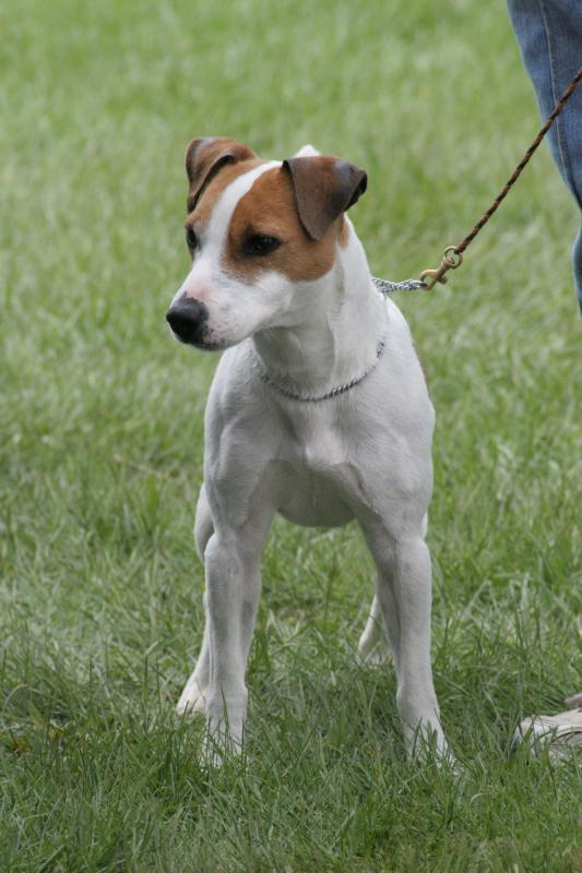 Nice wallpapers Jack Russell Terrier 533x800px