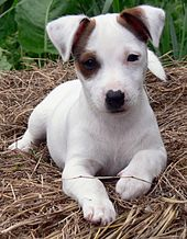 Jack Russell Terrier High Quality Background on Wallpapers Vista