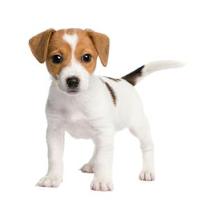 Nice wallpapers Jack Russell Terrier 295x295px
