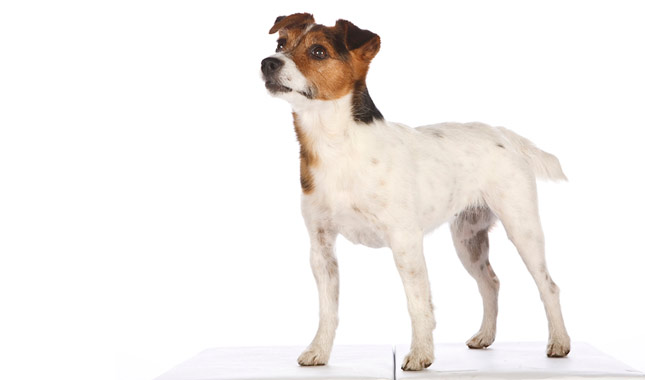 Jack Russell Terrier Backgrounds, Compatible - PC, Mobile, Gadgets| 645x380 px