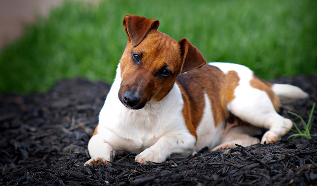 Amazing Jack Russell Terrier Pictures & Backgrounds