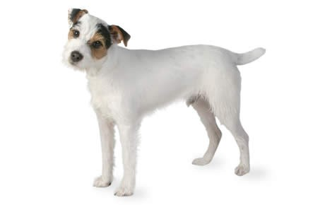 460x290 > Jack Russell Terrier Wallpapers