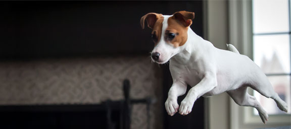 HD Quality Wallpaper | Collection: Animal, 576x256 Jack Russell Terrier