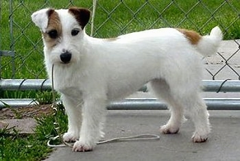 Jack Russell Terrier Pics, Animal Collection