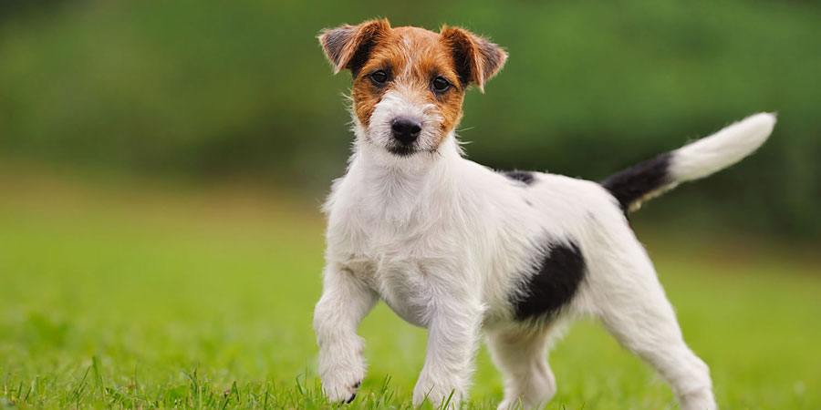 Images of Jack Russell Terrier | 900x450