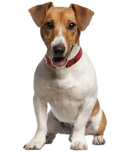 Jack Russell Terrier Backgrounds on Wallpapers Vista