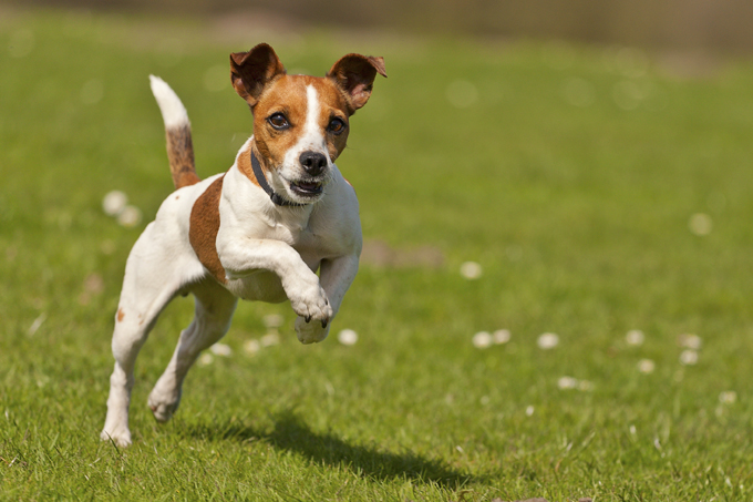 Nice Images Collection: Jack Russell Terrier Desktop Wallpapers