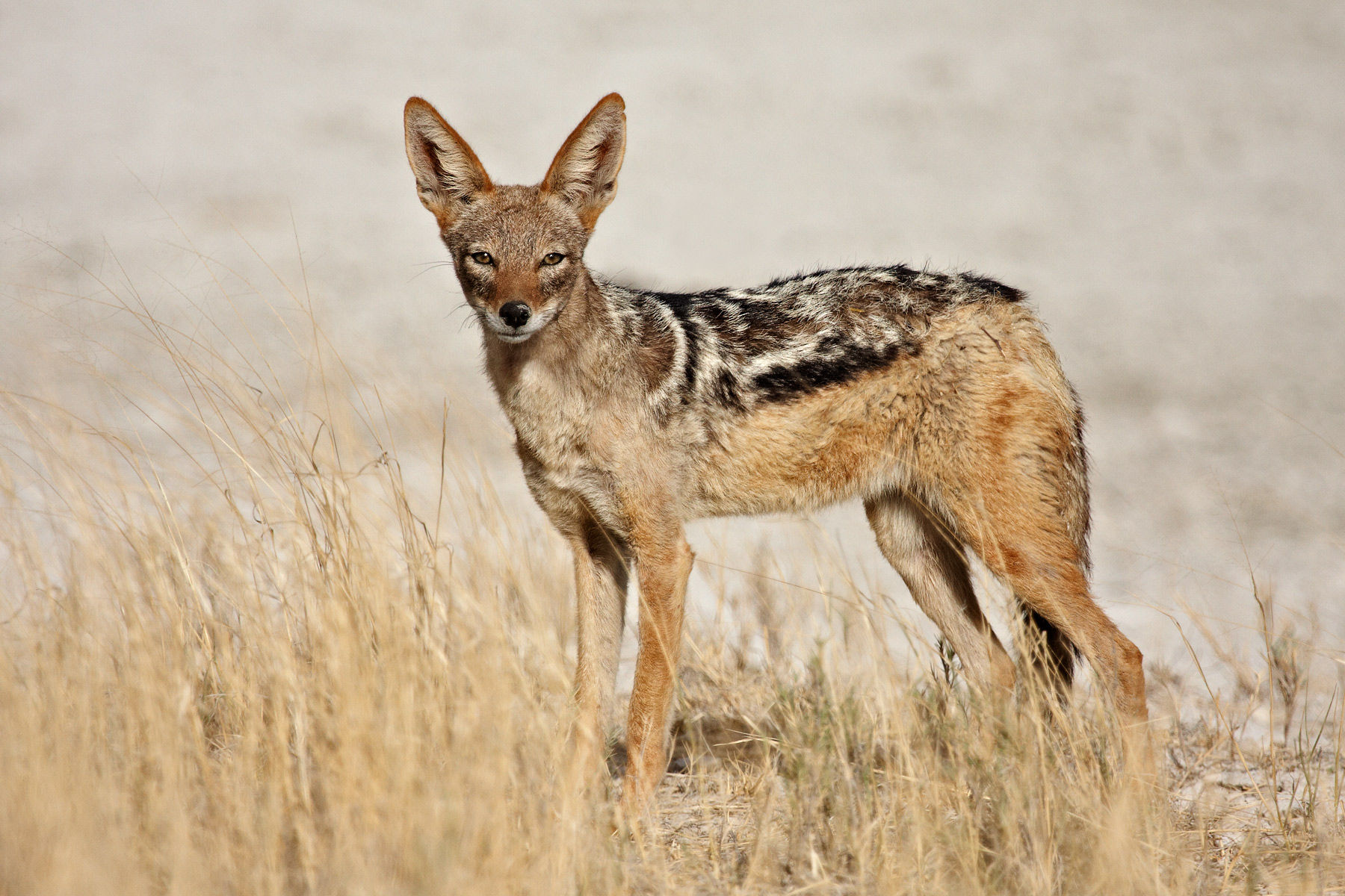 Jackal Pics, Animal Collection