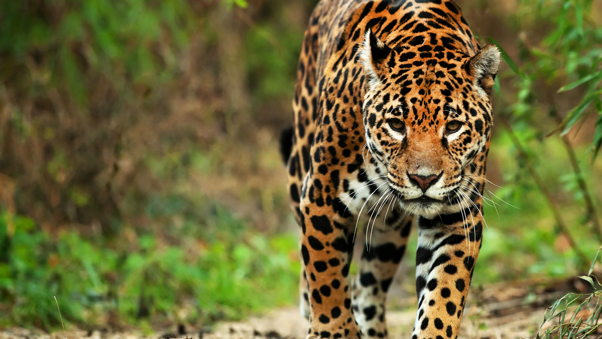 Images of Jaguar | 1920x1080
