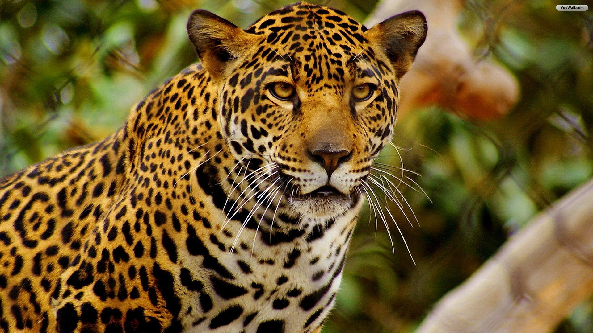 Amazing Jaguar Pictures & Backgrounds
