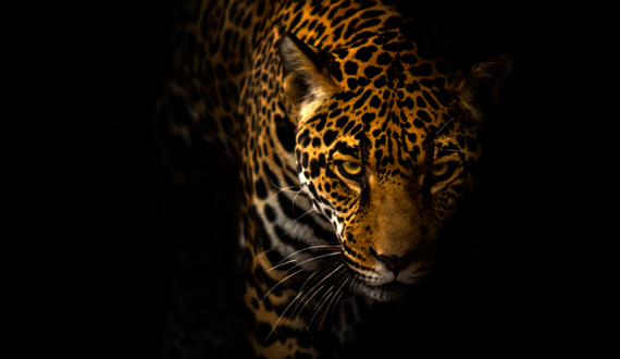 Jaguar Pics, Animal Collection