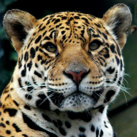 High Resolution Wallpaper | Jaguar 480x480 px