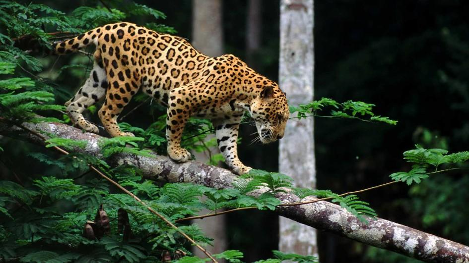 Nice wallpapers Jaguar 945x531px