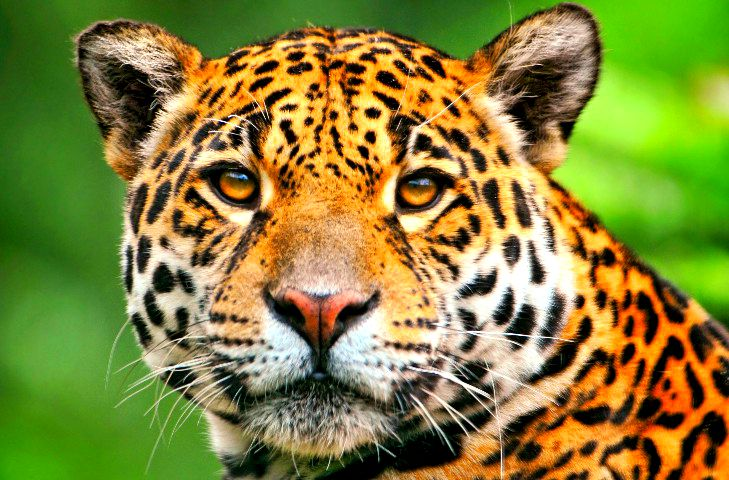 Images of Jaguar | 729x480