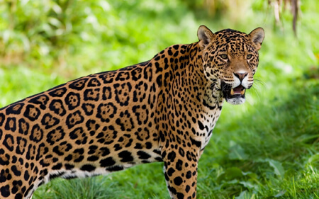 Nice wallpapers Jaguar 450x281px