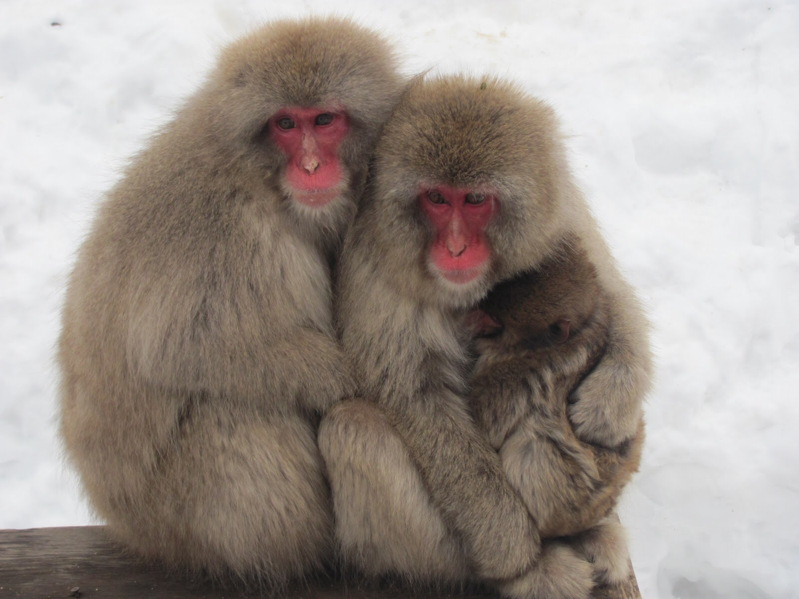 Japanese Macaque Backgrounds, Compatible - PC, Mobile, Gadgets| 1600x1200 px