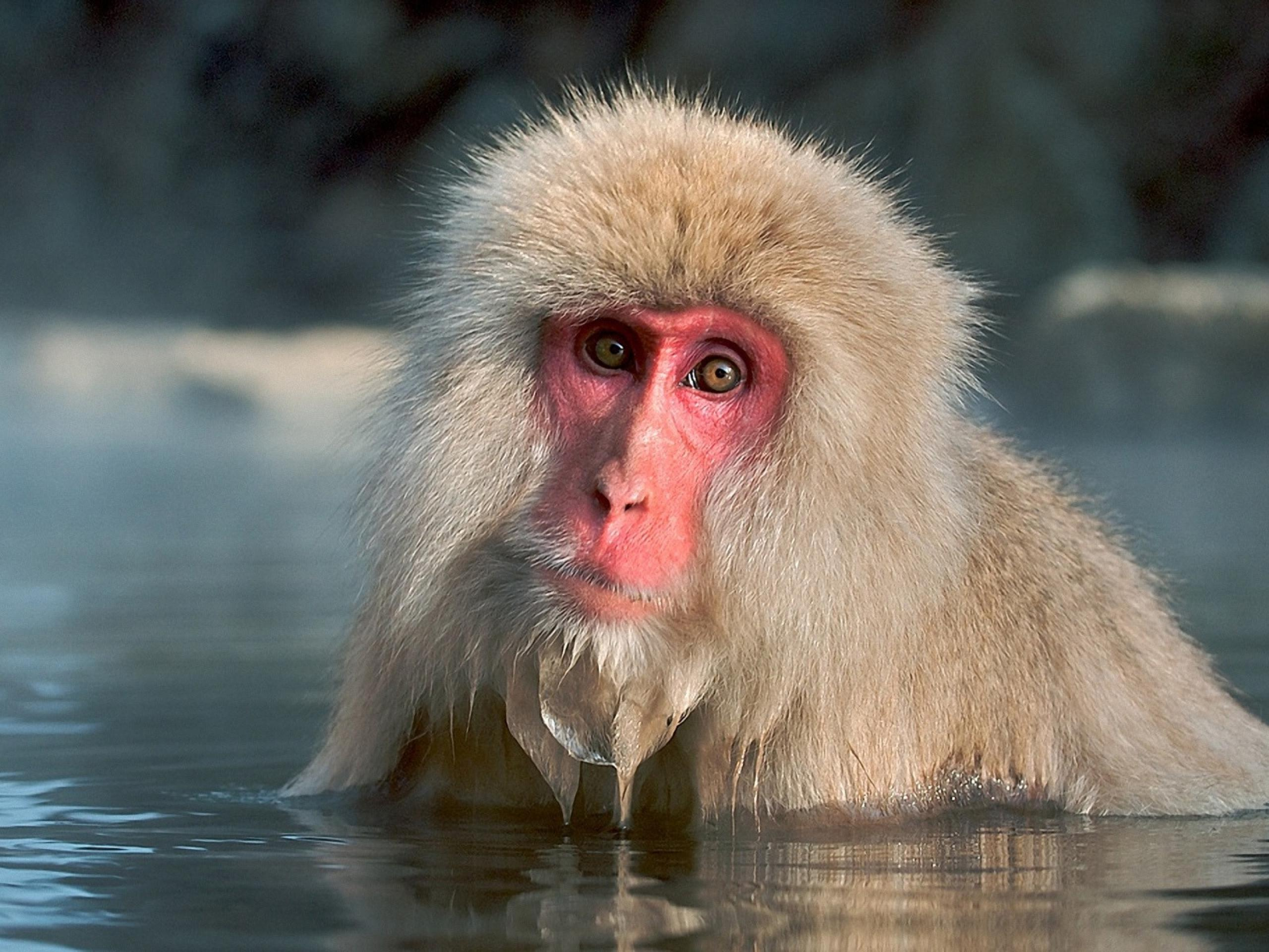 HQ Japanese Macaque Wallpapers | File 481.6Kb