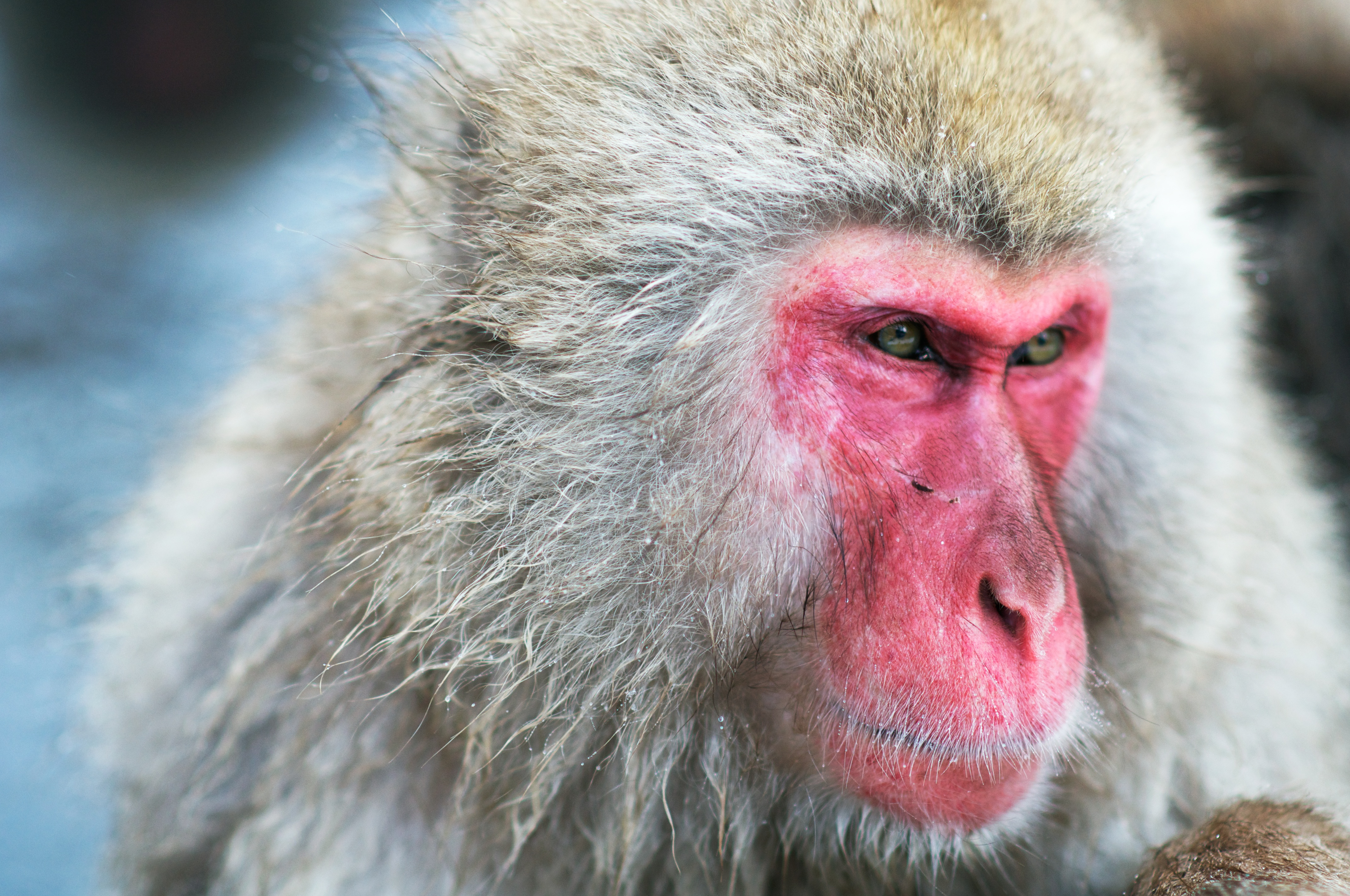 Japanese Macaque #9
