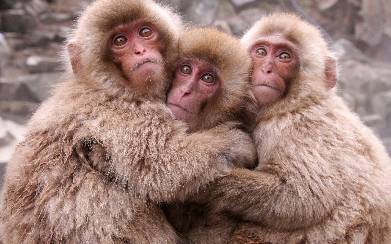 Japanese Macaque #5