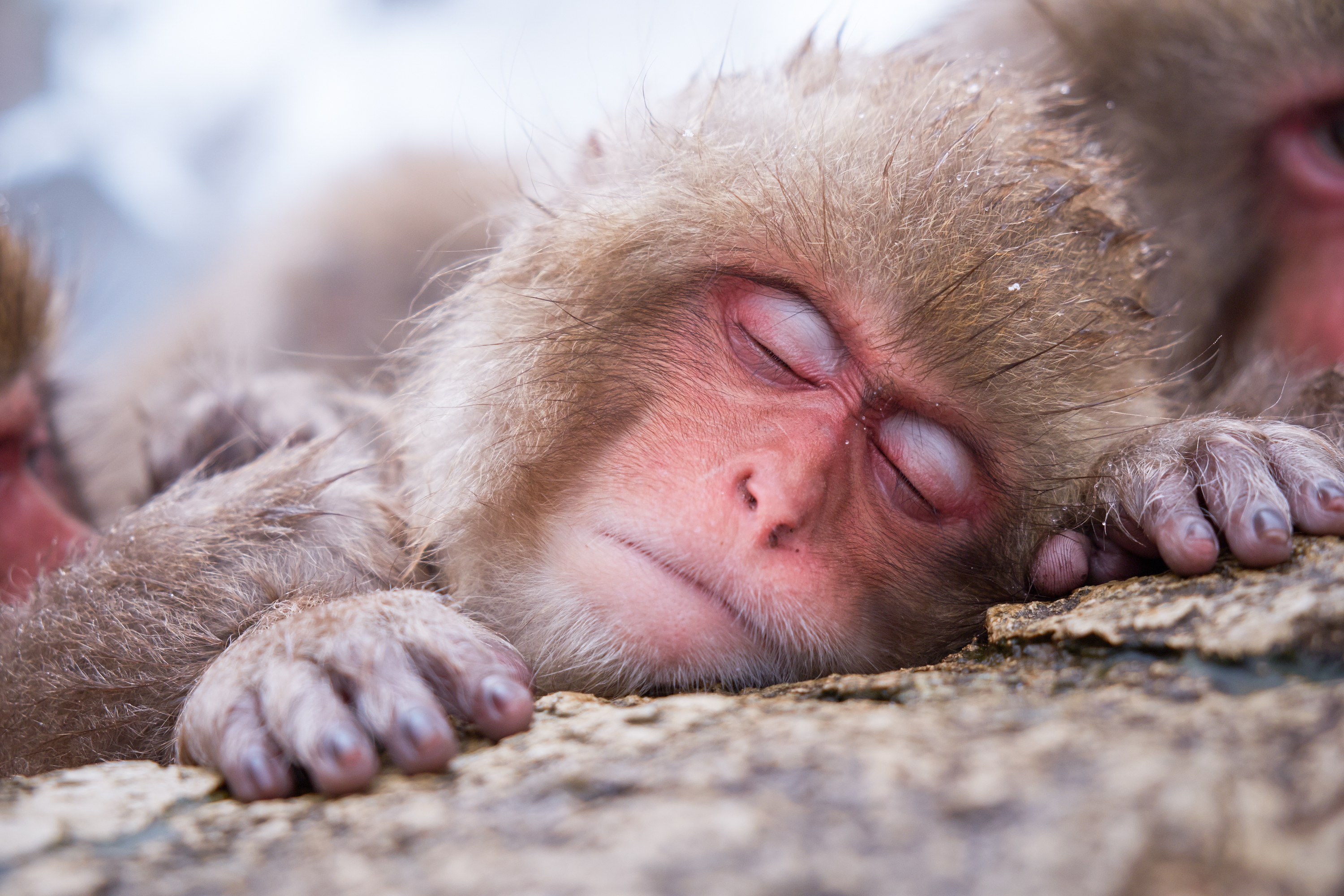 HQ Japanese Macaque Wallpapers | File 4409.97Kb