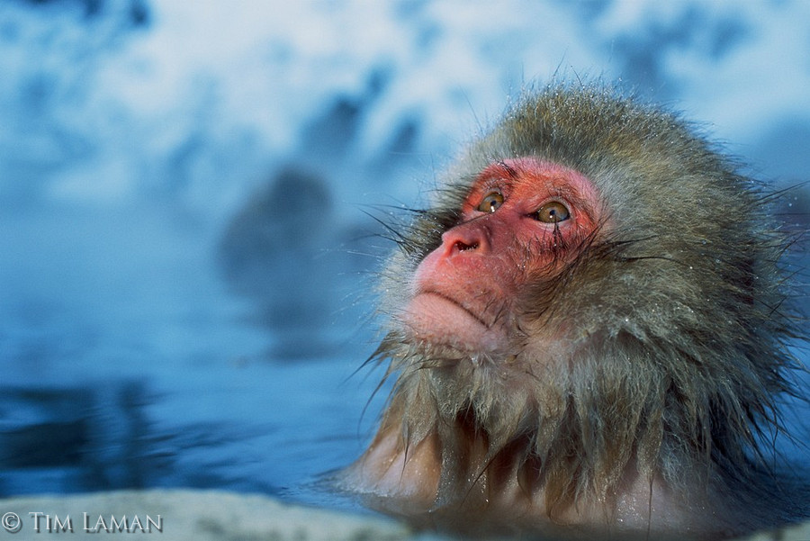 Japanese Macaque #21