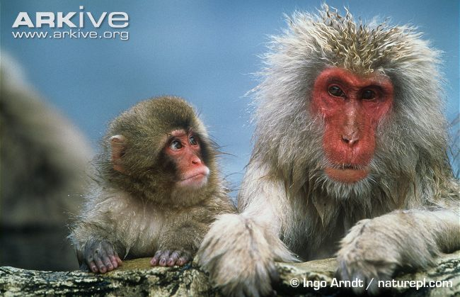 Japanese Macaque #18