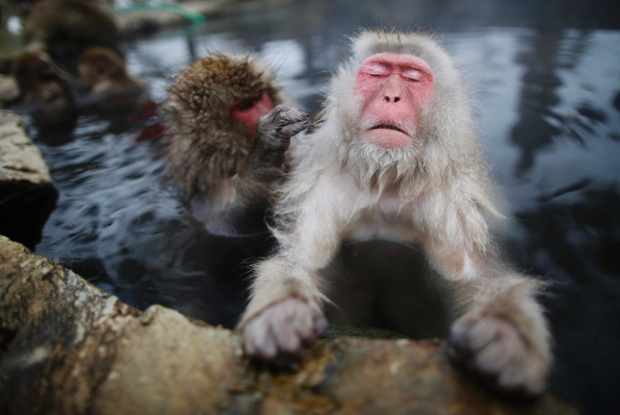 Images of Japanese Macaque | 620x415