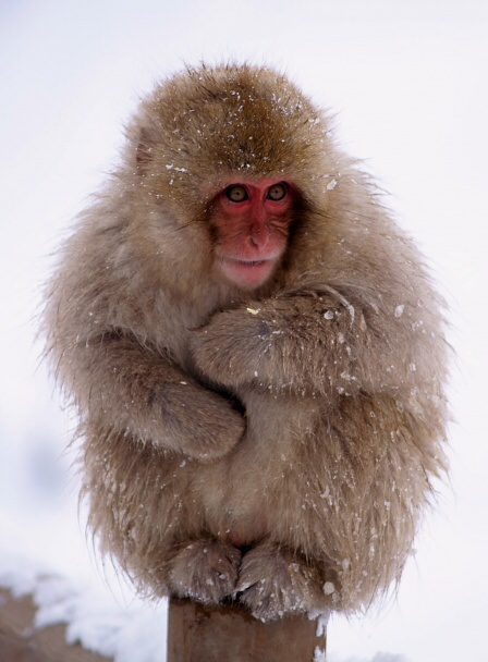 HD Quality Wallpaper | Collection: Animal, 448x608 Japanese Macaque